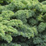kale-vegetables-brassica-oleracea-var-sabellica-l-51372[1]
