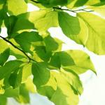 木漏れ日に揺れるサラシアの葉