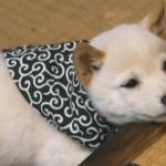 段差に顎を乗せる柴犬