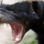 吠えるミツアナグマ